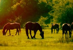Rural landscape with grazing horses on pasture. At sunset Royalty Free Stock Photography