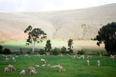 Rural landscape with grazing sheep Stock Photos