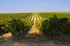Rural landscape of green Vineyard Stock Images