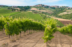 Rural landscape with a green vineyard among hills royalty free stock image