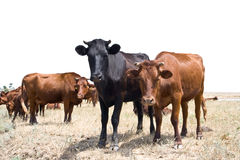 Rural landscape. A herd of cows on pasture Stock Photos