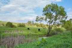 Rural landscape with horses being grazed on a pasture Stock Photos
