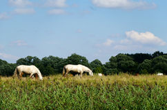 Rural landscape with horses grazing in a meadow Royalty Free Stock Image