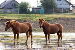 Rural landscape with horses Stock Image