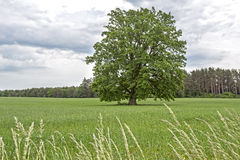 Rural landscape with a large tree in East Germany Stock Photography