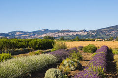 Rural landscape with lavender field Royalty Free Stock Photo