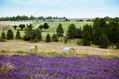 Rural landscape with lavender fields and straw rolls Royalty Free Stock Photography