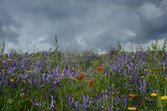 Rural landscape - lavender and red poppies Stock Photos