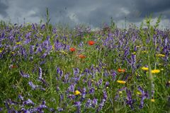Rural landscape - lavender and red poppies Royalty Free Stock Photo