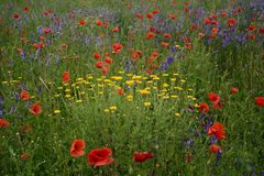 Rural landscape - lavender and red poppies. Classic Polish countryside, green fields and meadows Royalty Free Stock Image