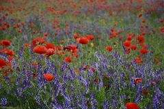 Rural landscape - lavender and red poppies Royalty Free Stock Image