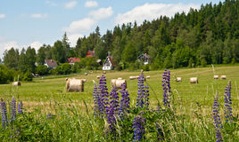 Rural landscape with lupine Stock Photography