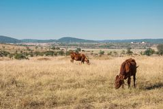 Rural landscape. With mountains and cows Stock Images