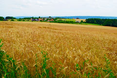 Field of triticale, a hybrid of wheat and rye. Rural landscape near Cracow in southern Poland. Field of triticale, a hybrid of wheat and rye Royalty Free Stock Photography