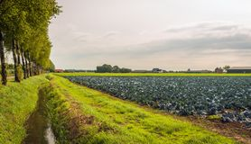 Rural landscape in the Netherlands with red cabbage plants on a. Rural landscape in the Netherlands with red cabbage culture on a large field. Next to the field royalty free stock image