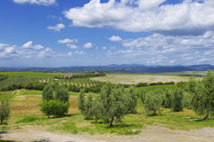 Rural landscape of olive groves Stock Photography