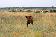 Rural landscape. One red cow on pasture Royalty Free Stock Photography