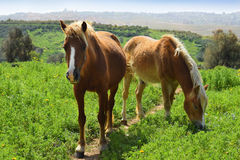 Rural landscape with a pair of horses Stock Image