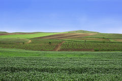 Rural landscape. Picturesque rural landscape,vineyard and grain Royalty Free Stock Photos
