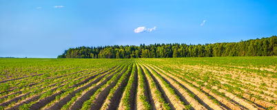 Rural landscape with a potato field Royalty Free Stock Images