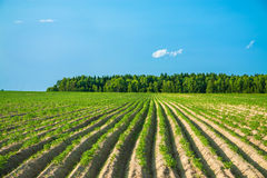 Rural landscape with a potato field Stock Image