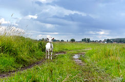 Rural landscape after rain. Goat on road in field Stock Images