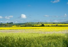 Rural landscape, rape, blue sk Stock Photo
