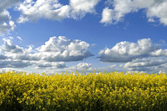 Rural landscape with rapeseed and cumulus clouds. Germany: still life of a field of flowering yellow rapes flowers. This plants, crop, is cultivated in the Royalty Free Stock Image
