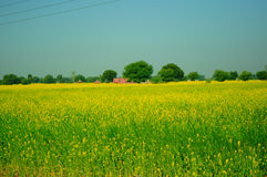 Rural landscape. A red building amidst yellow flowers in Punjab Stock Photo