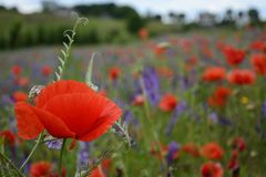 Rural landscape - red poppies Stock Photos