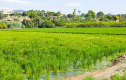 Rural landscape with rice fields Royalty Free Stock Image