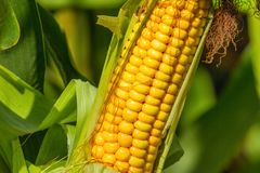 Rural landscape - ripe corn cob on the field in sunny hot summer day royalty free stock images