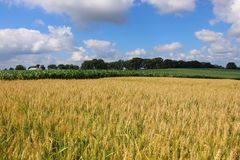 Agriculture, agronomy and farming background. Rural landscape with riping wheat field on a foreground. Beautiful summer countryside nature background, Wisconsin royalty free stock photography