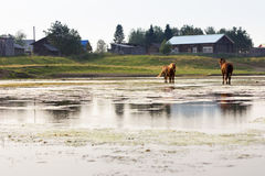 Rural landscape with river and horses Royalty Free Stock Photos