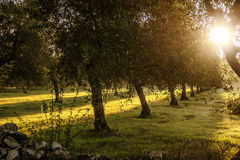 Rural landscape.Row of olive trees at dawn.-ITALY (Apulia)- Stock Photography