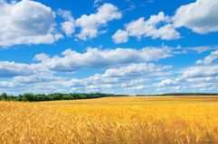 Rural landscape. Rural scenic landscape with rye field and beautiful sky Royalty Free Stock Photos