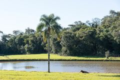 Rural landscape with lake, cow and palm tree 02 royalty free stock photo