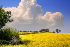 Rural landscape spring. Field of yellow flowers.ITALY(Apulia) Royalty Free Stock Photo