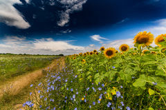 Rural landscape with storm clouds and sunflower, in summer Stock Image