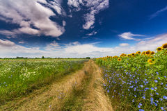 Rural landscape with storm clouds and sunflower, in summer Royalty Free Stock Images