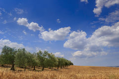 RURAL LANDSCAPE SUMMER. Between Apulia and Basilicata: hilly contryside with cornfield and olive grove dominated by blue sky with. Cereals and olive groves are Stock Photos