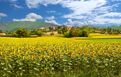 Rural landscape with sunflowers in Provence Stock Images