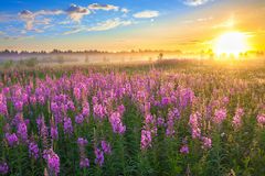 Rural landscape with the sunrise  and  blossoming meadow Royalty Free Stock Photo