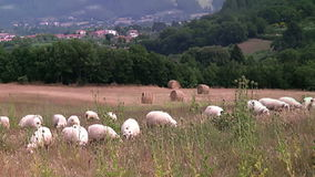 Rural landscape. Tuscany. Italy. Tuscany. The hilly terrain. Bales of hay. Sheep eating grass in the foreground. The village is visible in the background stock footage