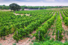 Rural  landscape with vineyards field Royalty Free Stock Image
