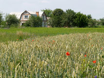 Rural landscape with a wheat field and the house Stock Photography