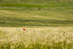 Rural landscape with wheat field Stock Photos