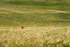 Rural landscape with wheat field Royalty Free Stock Image