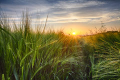 Rural landscape with wheat field on sunset Royalty Free Stock Photo