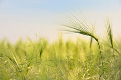 Rural landscape with wheat field Stock Images